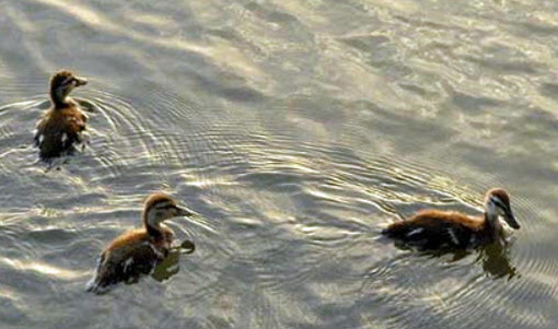 brown ducks