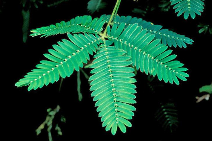 Mimosa copy